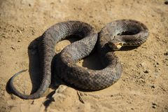 Serpente di erba giapponese Fotografia Stock Libera da Diritti