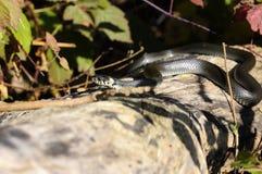 Serpente di erba - natrix del Natrix fotografie stock