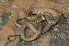 Serpente di erba - natrix del Natrix Fotografie Stock Libere da Diritti