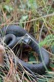 Serpente di erba in natura selvaggia Fotografie Stock Libere da Diritti