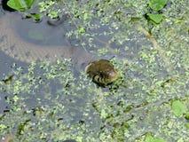 Serpente di erba nello stagno del giardino Immagini Stock Libere da Diritti
