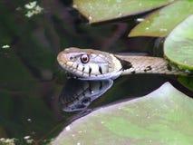 Serpente di erba nello stagno del giardino immagini stock
