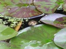 Serpente di erba nello stagno del giardino immagine stock libera da diritti