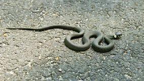 Serpente di erba prendente il sole Immagine Stock Libera da Diritti