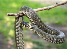 Serpente di erba sulla filiale Fotografia Stock Libera da Diritti