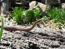 Serpente di Gardner Fotografie Stock