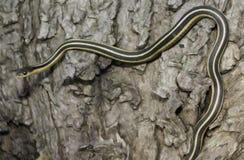 Serpente di giarrettiera Fotografie Stock Libere da Diritti