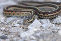 Serpente di giarrettiera Immagini Stock