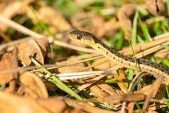 Serpente di giarrettiera comune Fotografia Stock