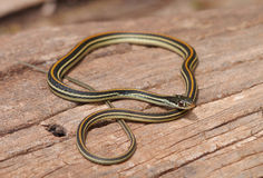 Serpente di giarrettiera comune (sirtalis del Thamnophis) Fotografie Stock Libere da Diritti