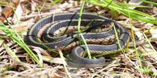 Serpente di giarrettiera in Illinois Fotografie Stock Libere da Diritti