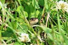 Serpente di giarrettiera nell'erba Fotografie Stock