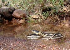 serpente di giarrettiera Nero-con il collo, cyrtopsis del Thamnophis Immagini Stock