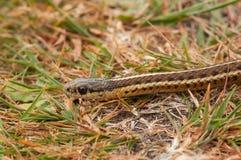 Serpente di giarrettiera nordoccidentale Immagini Stock