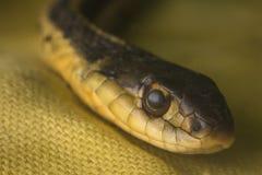 Serpente nero e giallo foto stock 136 serpente nero e for Serpente nero italiano
