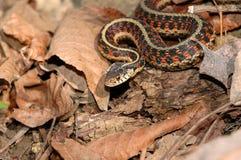 Serpente di giarrettiera parteggiato rosso Immagini Stock