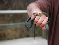 Serpente di giarrettiera parteggiato rosso in mano dell'uomo Immagine Stock