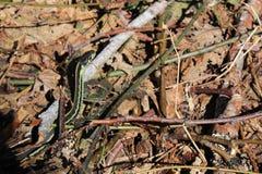 Serpente di giarrettiera su Forest Floor Fotografie Stock Libere da Diritti