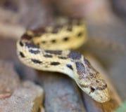 Serpente di gopher pacifico (catenifer del catenifer del Pituophis) Immagini Stock Libere da Diritti