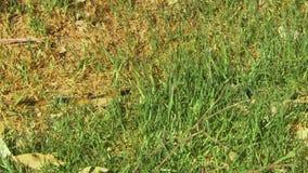 Serpente di Gwardar concelaed in erba stock footage
