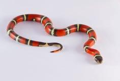 Serpente di latte Fotografia Stock