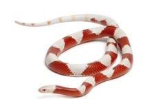 Serpente di latte degli albini o milksnake, Lampropeltis Immagini Stock
