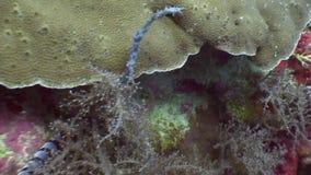 Serpente di mare nel corallo rosso subacqueo in oceano di fauna selvatica Filippine stock footage