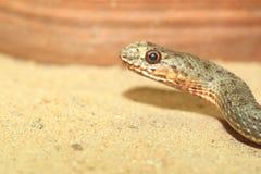 Serpente di Montpellier Fotografia Stock Libera da Diritti