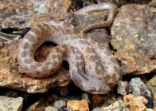 Serpente di notte del Texas, jani di torquata del Hypsiglena Fotografia Stock