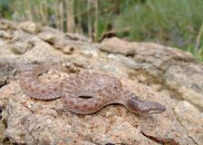 Serpente di notte del Texas, jani di torquata del Hypsiglena Fotografie Stock