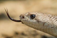 Serpente di pino del sud Fotografie Stock Libere da Diritti