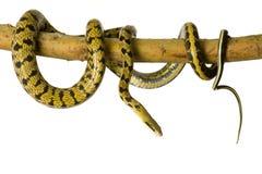 Serpente di ratto immagine stock libera da diritti
