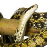 Serpente di ratto fotografia stock