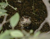 Serpente di ratto comune Fotografia Stock
