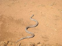 Serpente di ratto del Great Plains, emoryi di Pantherophis fotografie stock