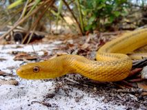 Serpente di ratto giallo Fotografie Stock