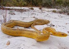 Serpente di ratto giallo Immagini Stock
