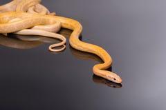 Serpente di ratto giallo su fondo nero Fotografia Stock