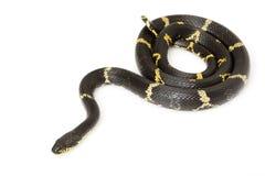 Serpente di ratto russo Immagini Stock Libere da Diritti