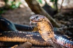 Serpente di re Cobra nell'Uganda, Africa Fotografia Stock Libera da Diritti