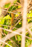 Serpente di sabbia Banda-gonfiato orientale in vegetazione Fotografia Stock Libera da Diritti