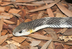 Serpente di tappeto Fotografia Stock Libera da Diritti