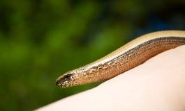 Serpente a disposizione Fotografia Stock Libera da Diritti