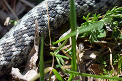 Serpente do adicionador no fim da grama acima Foto de Stock