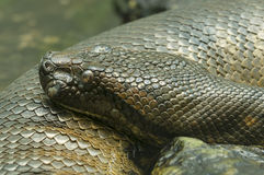 Serpente do Anaconda Fotos de Stock