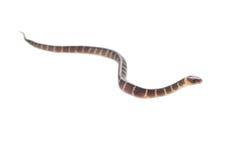 Serpente do bebê Fotografia de Stock Royalty Free