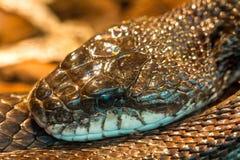 Serpente do chocalho Fotos de Stock Royalty Free