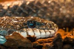 Serpente do chocalho imagens de stock