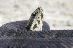 Serpente do Cottonmouth imagem de stock royalty free