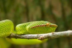 Serpente do Pitviper de Wagler (wagleri de Tropidolaemus) no parque nacional de Bako, Bornéu fotos de stock royalty free